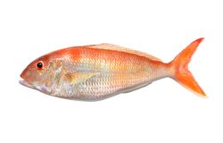 Big Orange Perch Stock Images