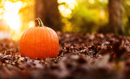 Big orange pumpkin with fall leaves at sunset Stock Photo