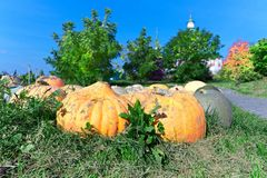 Big orange pumpkin in the sunlight Stock Image