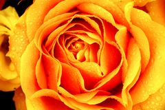 Big orange rose. In a floral wedding decoration royalty free stock photography