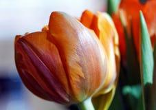 Big orange spring tulip Royalty Free Stock Photos