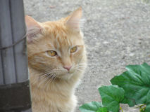Big Orange Tabby Cat Royalty Free Stock Photography