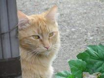 Big Orange Tabby Cat. Beautiful large orange tabby cat looks through a garden gate Royalty Free Stock Photography