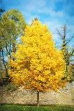 Big orange tree and blue sky, autumn scene, colorful november, i Stock Photos