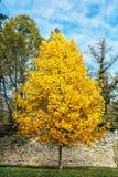 Big orange tree and blue sky, autumn scene, colorful november Royalty Free Stock Photography