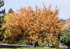 Big orange tree, green grass and footpath, seasonal natural scen Royalty Free Stock Photo