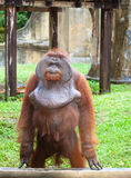 Big orangutan Royalty Free Stock Images