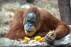 Big orangutan. Orangutan is being distracted from eating an orange Royalty Free Stock Photography