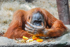 Big orangutan. Orangutan is being distracted from eating an orange Royalty Free Stock Photos