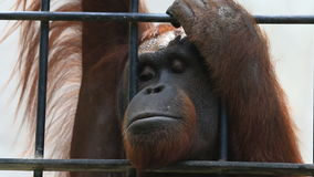 Big orangutan in cage, HD Clip. stock footage