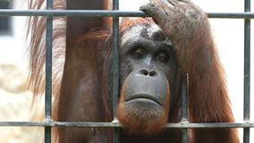 Big orangutan in cage, HD Clip. stock video footage
