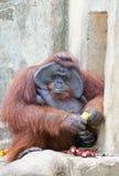 Big orangutan eats orange Royalty Free Stock Image
