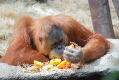 Big orangutan. Looking at orange Royalty Free Stock Photo