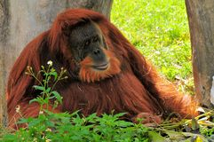 Big Orangutan relaxing in shade Stock Image