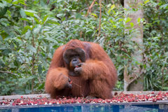 Big orangutan sitting on a wooden platform and eats rambutan Kum Stock Photo