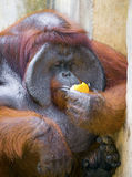 Big orangutang eats orange Stock Photo