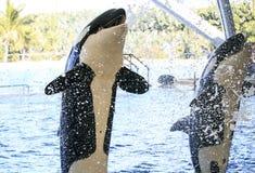 Big Orcas living in a zoo Stock Photos