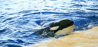 Big Orcas living in a zoo stock photography