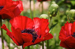 Big Oriental Poppies Royalty Free Stock Photography