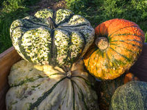 Big ornamental pumpkins Royalty Free Stock Photography