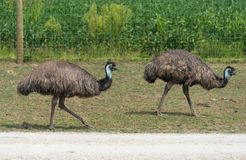 Big ostrich on a country safari farm Royalty Free Stock Photo