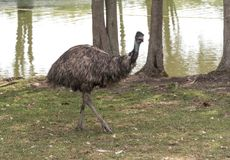 Big ostrich on a country safari farm Royalty Free Stock Image
