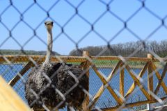 Big ostrich, muzzle with a huge beak, close-up. Beasts in captivity in the enclosure. Outdoor park with birds. stock photography