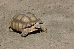 Big overland turtle Royalty Free Stock Photo