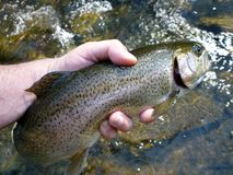 Big Owens Creek Rainbow Trout Royalty Free Stock Images