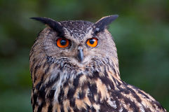 Big owl Stock Photo