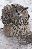 A big owl- eagle owl Eurasian eagle-owl sits on a snowy background stock photography