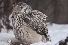 A big owl- eagle owl Eurasian eagle-owl sits on a snowy background. A big owl- eagle owl sits on a snowy background and rolls over a dead mouse and looks stock image