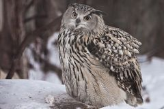 A big owl- eagle owl Eurasian eagle-owl sits on a snowy background. A big owl- eagle owl sits on a snowy background and rolls over a dead mouse and looks stock photos