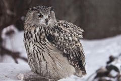 A big owl- eagle owl Eurasian eagle-owl sits on a snowy background. A big owl- eagle owl sits on a snowy background and rolls over a dead mouse and looks stock photo