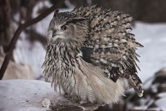 A big owl- eagle owl Eurasian eagle-owl sits on a snowy background. A big owl- eagle owl sits on a snowy background and rolls over a dead mouse and looks royalty free stock image