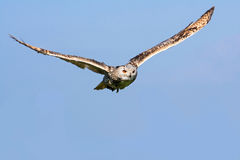Big owl in flight Royalty Free Stock Photos