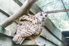 A big owl with ginger eyes sitting on a ledge in its wooden house in a zoo royalty free stock images