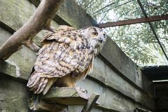 A big owl with ginger eyes sitting on a ledge in its wooden house in a zoo stock photos