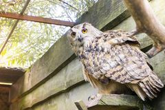 A big owl with ginger eyes sitting on a ledge in its wooden house in a zoo stock photography