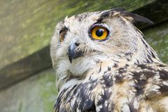 A big owl with ginger eyes sitting on a ledge in its wooden house in a zoo royalty free stock photo