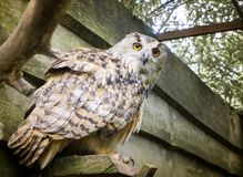 A big owl with ginger eyes sitting on a ledge in its wooden house in a zoo royalty free stock photos