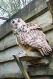 A big owl with ginger eyes sitting on a ledge in its wooden house in a zoo stock image