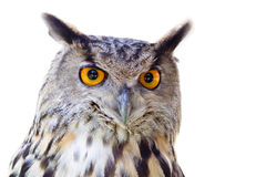 Big owl isolated. Big owl with big yellow eyes Royalty Free Stock Photos