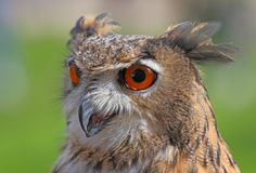 Big owl with orange eyes Royalty Free Stock Photo