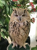 A big owl. Royalty Free Stock Photography