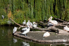 Big pack of pelicans Royalty Free Stock Photo