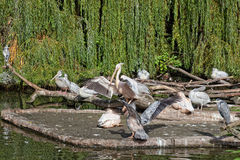 Big pack of pelicans Stock Photography