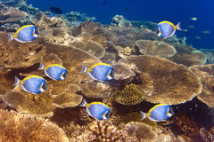 Big pack of Powder blue tang over a coral reef.Underwater landscape Stock Photo