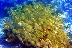 Big pack of tropical fishes Stock Images