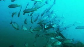 Big pack of tropical fishes over a coral reef stock video